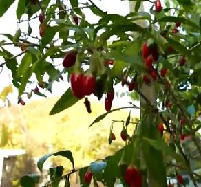 Kustovnice čínská patří mezi velmi zdravé ovoce...