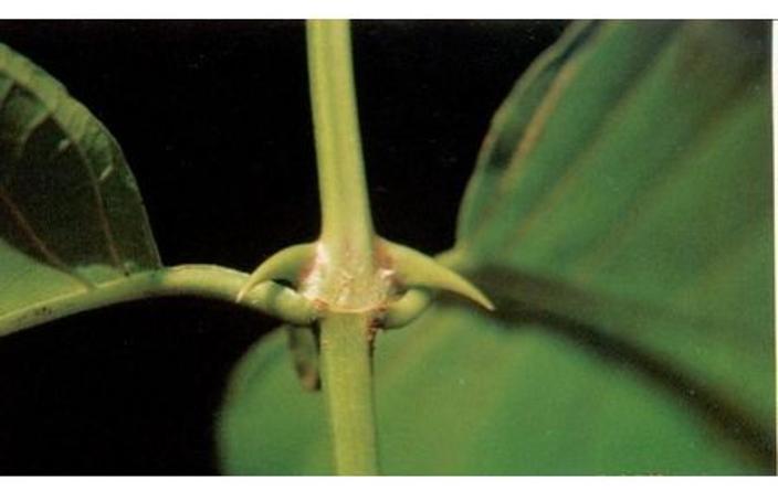 Vilcacora – léčivá bylina zAmazonského pralesa